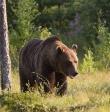 Uwaga! Niedźwiedzica w Beskidzie Śląskim